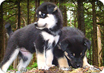 Sled Dog Discovery & Musher's Camp