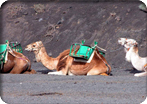 Camels and Maspalomas
