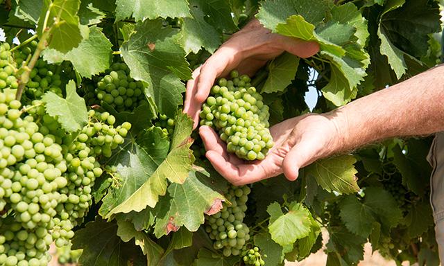 Wines, Vines and Scenic Coastlines