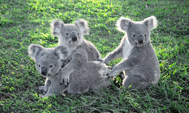 Behind the Scenes at Lone Pine Koala Sanctuary