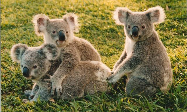 Behind the Scenes at Lone Pine Koala Sanctuary
