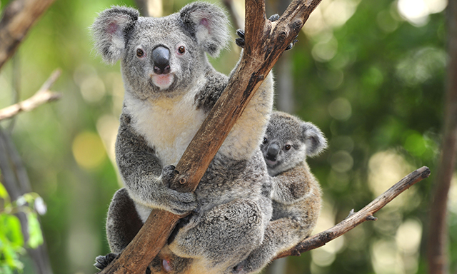 Brisbane Sights and Lone Pine Koala Sanctuary