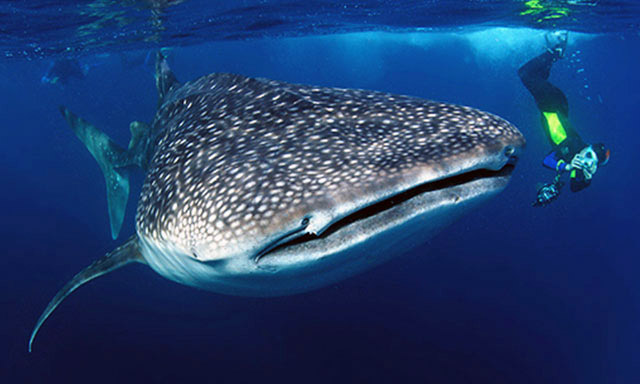 Whale Shark Encounter and Snorkel