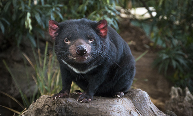 Richmond and Tassie Devils