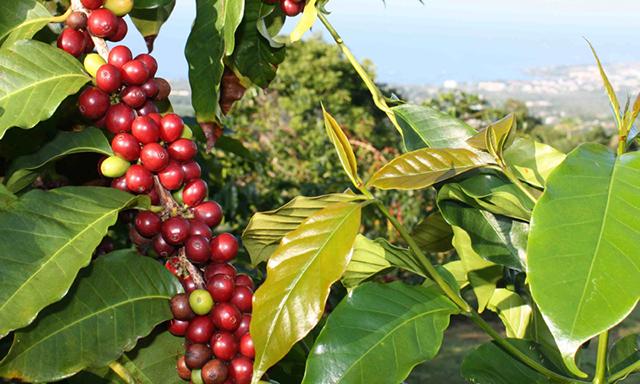 Kona Coffee & Craters Holoholo Hualalai