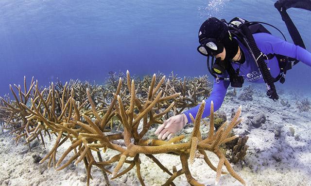 Bonaire National Marine Park Coral Restoration Dive