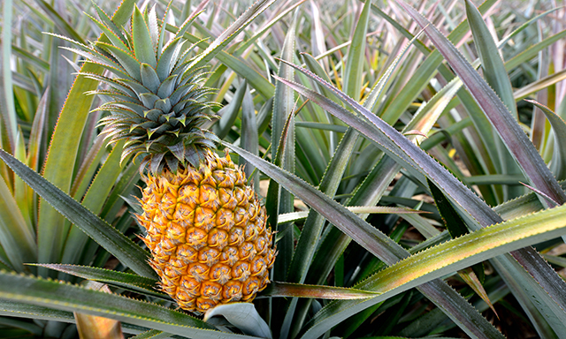 Maui Pineapple Plantation Experience