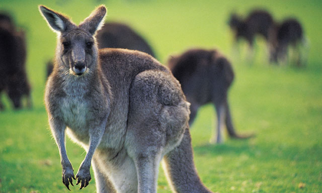 Australian Wildlife Sanctuaries: Koalas and Kangaroos