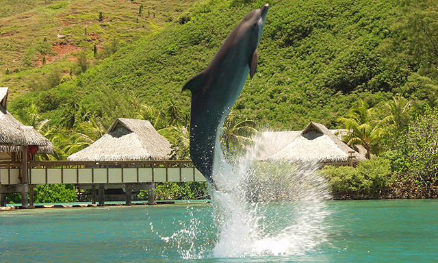 Moorea Dolphin Encounter
