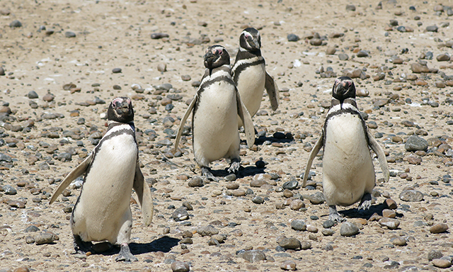Punta Tombo Penguin Rookery by Van