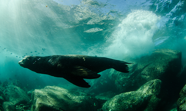 Snorkel with Sealions