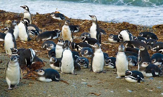 Magellanic Penguins at Otway Sound