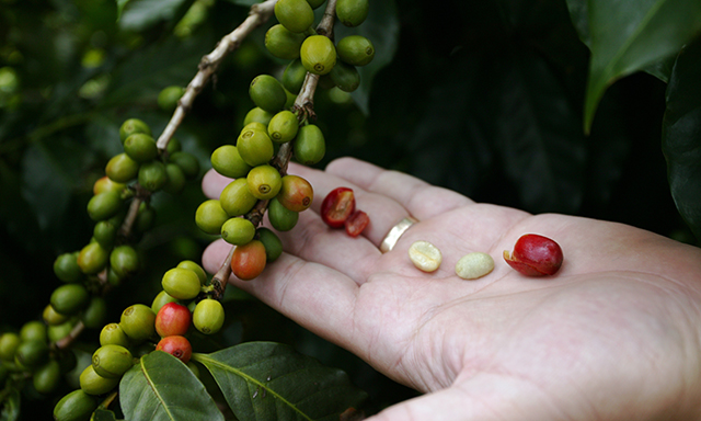 Costa Rica Coffee Plantation Experience
