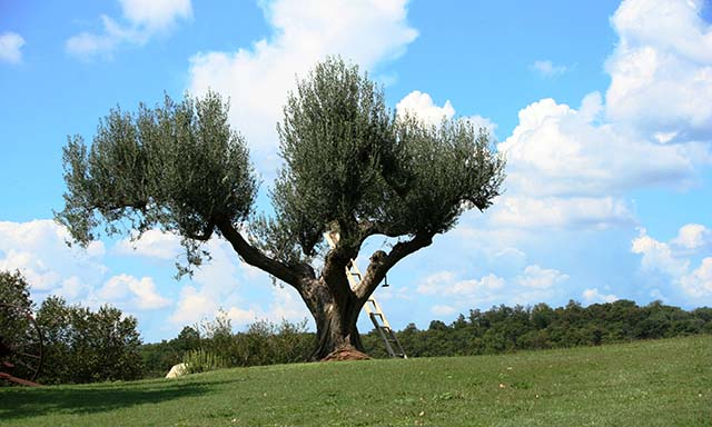 Italian Countryside and Olive Oil Taste