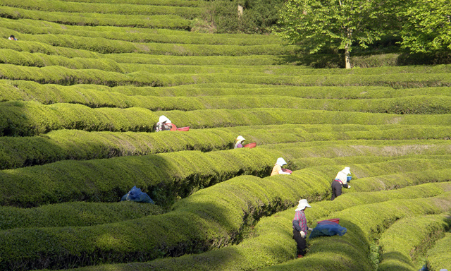 Boseong Green Tea Plantation Tour - Chinese Guide